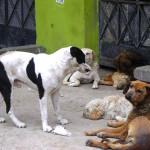 Perros callejeros pondrían en riesgo la salud de pobladores