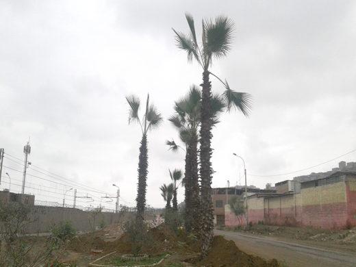 Siembran palmeras en Av. Unión para mejoras del ornato del sector Micaela Bastidas