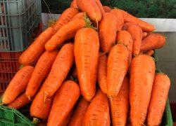 Hoy celebran el día de la zanahoria en el Mercado Mayorista de Lima